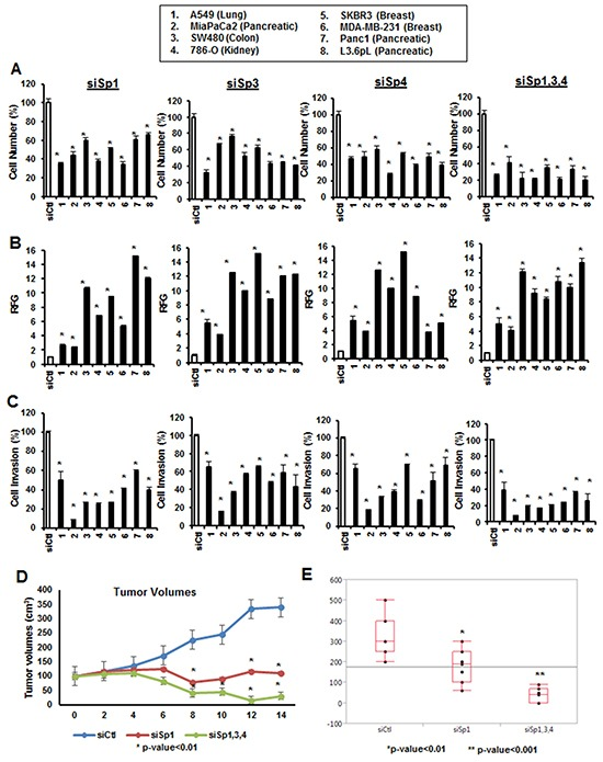 Functional effects of Sp1, Sp3 and Sp4 in A549, MiaPaCa2, SW480, 786-O, SKBR3, MDA-MB-231, Panc1 and L3.6pL cancer cell lines Cells were transfected with siSp1, siSp3 and siSp4 and effects on cell proliferation A. Annexin V staining B. and invasion in a Boyden chamber assay C. were determined as described in the Materials and Methods. Results are expressed as means ± SE for at least 3 biological replicates for each determination, and significant (p