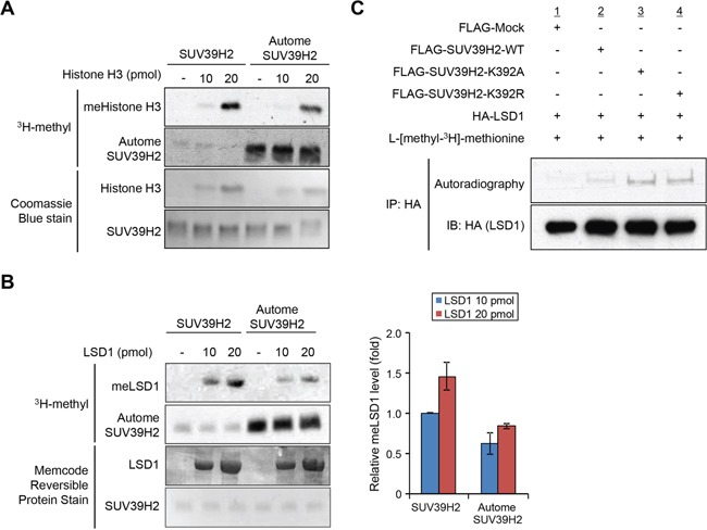 Automethylation of SUV39H2 negatively regulates SUV39H2 methylation activities to other substrates A-B. Recombinant H3 protein (A) or recombinant LSD1 protein (B) was reacted with equal amount of recombinant SUV39H2 proteins or hyper-automethylated SUV39H2 (pre-incubated with S-adenosyl-L-[methyl- 3 H]-methionine for 4 hours). The intensity of methylated LSD1 protein for each sample was quantified by GS-800™ calibrated densitometer (Bio-Rad) and plotted (right panel). All error bars indicate SEM of two independent experiments. Values are relative to the intensity obtained from the reaction of 10 pmol LSD1 and hypomethylated SUV39H2. The loading amounts of proteins were stained with Coomassie Brilliant Blue (A) and MemCode™ Reversible Protein Stain (B). C. 293T cells co-expressing HA-LSD1 with FLAG-SUV39H2-WT, FLAG-K392A or FLAG-K392R were labelled with L-[methyl- 3 H]-methionine in vivo . Cell lysates were immunoprecipitated with anti-HA agarose (Sigma-Aldrich) and methylated LSD1 was visualized by autoradiography. Immunoprecipitates were immunoblotted with anti-HA antibody as an internal control.