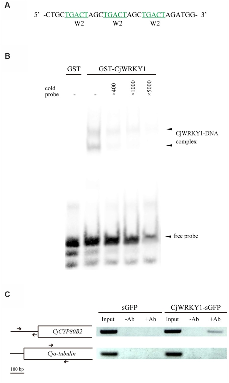 The binding activity of CjWRKY1 to the CYP80B2 promoter. (A) The oligonucleotide sequence used for the EMSA contains three repeats of W-box sequences (TGACT). (B) The in vitro binding activity of CjWRKY1 protein to the W-box DNA sequence motif was confirmed by EMSA analysis. EMSA was carried out with a purified GST-CjWRKY1 recombinant protein and a biotin-labeled probe. Arrows indicate the shifted bands corresponding to the protein-DNA complexes. (C) CjWRKY1 directly binds to the CYP80B2 promoter region in vivo . A ChIP assay was performed with anti-GFP antibodies. The left panel indicates the structure of the coding region of the CYP80B2 and the α -tubulin genes. Arrows indicate specific primer pairs used for PCR. The right panel shows PCR products from immunoprecipitated chromatin and input controls incubated without (-Ab) or with (+Ab) anti-GFP antibodies before immunoprecipitation.