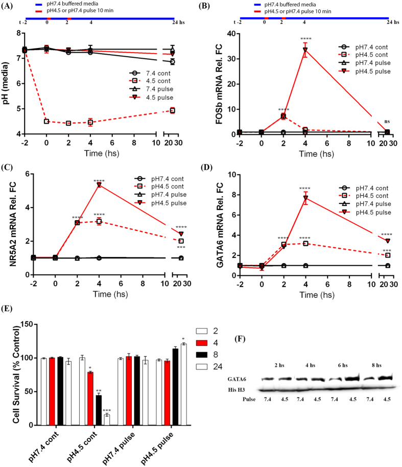 Induction of NR5A2 and GATA6 expression by pulsed gastric acid in oesophageal cells. SKGT4 cells were exposed to simulated reflux events, 10 min in duration, using acidified cell culture media at pH4.5 or non-acidified media at pH7.4 (control) followed by incubation at pH7.4 for 2 hs prior to repeating the reflux event. ( A ) pH levels monitored throughout experiment and 2 hs prior to initial insult demonstrates only minor fluctuations in intended pH. ( B ) FOSb (positive control), ( C ) NR5A2 and ( D ) GATA6 mRNA levels in SKGT4 cells exposed to differing acidic environments (continuous (cont) or pulsatile (pulse) (10 min) at pH4.5 or pH7.4) examined by real time RT-PCR at t-2, t0, t+2, t+4 and t+24 hs. ( E ) Cell viability following acidic treatments in SKGT4 cells measured by MTT assay following 2 repeated exposures. ( F ) Induction of GATA6 protein expression following exposure to pulsatile low pH4.5 following 2 repeated exposures measured over 8 hs using histone H3 blotting as loading control (image details live zoomed cropped exposure of GATA6 and loading control bands as capture by CCD imager). Significance was achieved by two-tailed non-parametric Mann-Whitney testing for RT-PCR data and students t-test in viability and Western blotting experiments, p