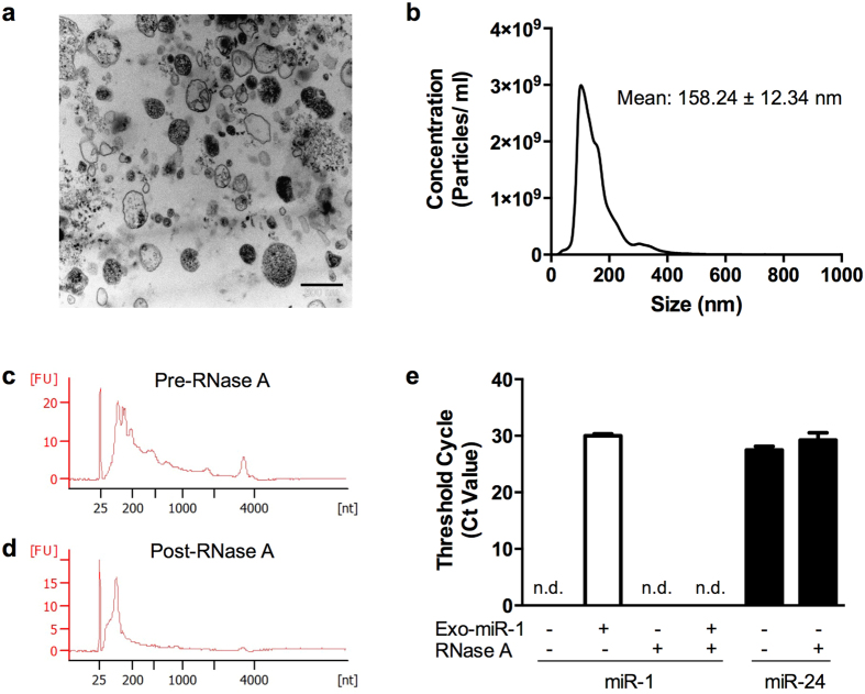 Characterization of osteoblast-derived EVs and the RNA inside EVs. (a) Representative transmission electron microscope image (×28,000) of EVs isolated from human osteoblasts. Scale bar: 500 nm. (b) Nanoparticle tracking analysis shows EV size distribution and concentration. (N = 3). (c,d) Representative Agilent 2100 Bioanalyzer (Pico) RNA profiles of osteoblast-EVs ( c ) before and ( d ) after RNase A treatment (100 ng/ml, 30 minutes at 37 °C). FU, fluorescent units. (N = 3). (e) Quantification of vesicular human miR-24 and miR-1 levels by qPCR in the presence or absence of exogenous synthetic miR-1 and RNase A. Data is presented as raw threshold cycle numbers (Ct values) (mean ± SD) (N = 3). n.d. denotes Ct values above 35 or not detectable.