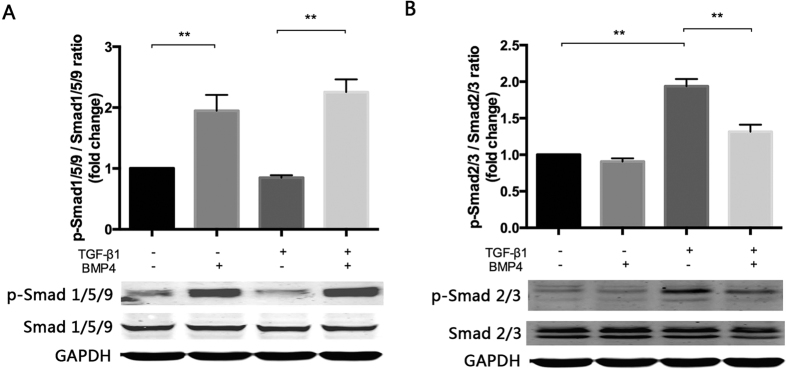 BMP4 treatment attenuates TGF-β1-induced <t>Smad2/3</t> phosphorylation by increasing activating Smad1/5/9. GAPDH was used as the protein loading control. ( A ) Phosphorylated Smad 1/5/9 and ( B ) Phosphorylated Smad 2/3 was measured by Western blots and semi-quantified with relative total Smad protein. The data are presented as the mean values ± SEM. n = 3/group. *P