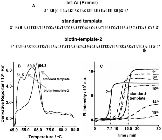 Effect of biotin tag on EXPAR. ( A ) Diagram of the experimental setup. ( B ) Determination of Tm of duplexes of let-7a/standard template and let-7a/biotin-template-2 by a StepOneplus Real-Time PCR System (Applied Biosystems, USA) using SYBR Green I as the reporter dye. The biotin-template-2 is a standard template labeled with a biotin at the second base from its 5′ terminus. T m curves were obtained from the derivative of the fluorescence intensity as a function of temperature. The temperature was increased from 45°C to 95°C at a rate of 5°C min –1 . ( C ) Real-time fluorescence curves of EXPAR reactions at 55°C with 0.05 U μl –1 Vent (exo-) DNA polymerase, 0.4 U μl –1 <t>Nt.BstNBI</t> <t>NEase,</t> 6.02 × 10 9 copies (10 fmol) let-7a and 1 μM standard template or biotin-template-1, 2, 6, 10, 14, 18. The biotin-template-1, 2, 6, 10, 14, 18 are standard templates labeled with a biotin at the first, second, sixth, 10th, 14th, 18th base from their 5′ terminus, respectively.