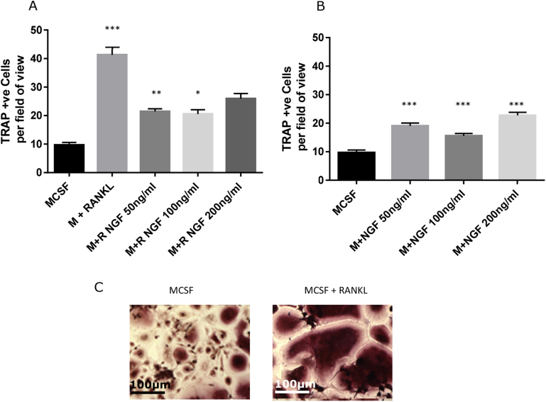 Effects of NGF upon osteoclast differentiation in vitro . Human peripheral mononuclear cells were isolated and cultured in the presence of <t>MCSF</t> with (A) or without (B) <t>RANKL,</t> and increasing concentrations of NGF, for 14 days. TRAP +ve cells were counted using four random fields of vision on four separate slides for each condition. RANKL alone significantly increased TRAP +ve cells as compared to MCSF alone (A). For RANKL treated cells, addition of NGF significantly decreased osteoclast numbers at 50 and 100 ng/ml. In the absence of RANKL (B), addition of NGF caused a small non-dose related significant increase in TRAP +ve cell number. (C) Examples of TRAP staining in the presence and absence of RANKL. Scale bar is 100 μm. Data are mean ± SEM, statistical analysis: one way ANOVA, * P