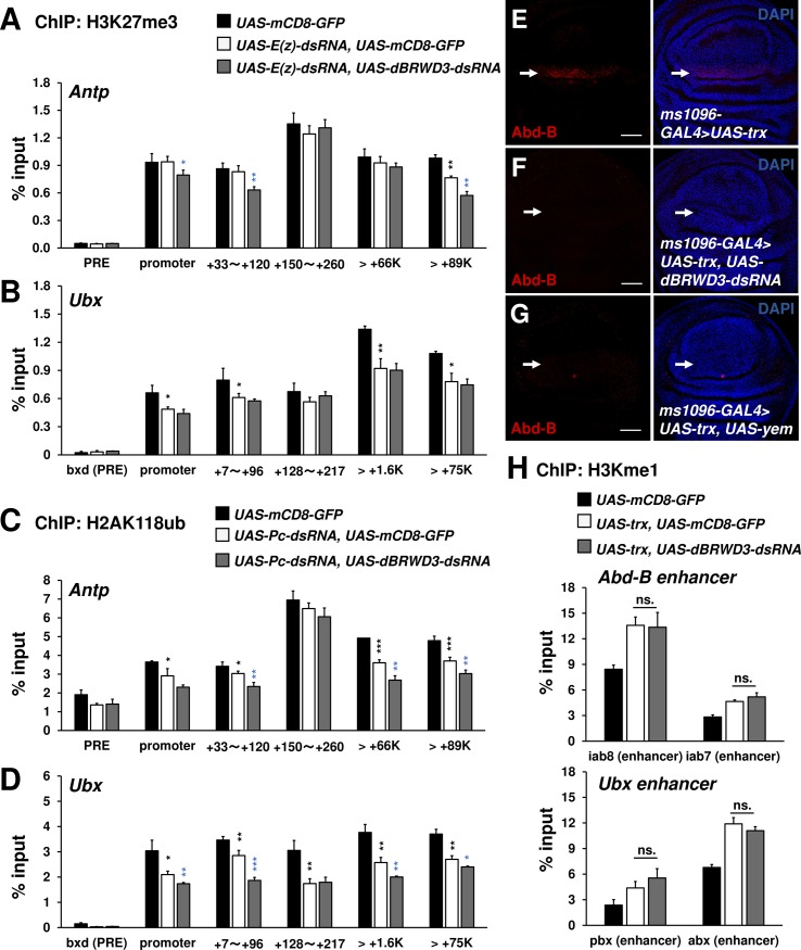 dBRWD3 is epistatic to trx in the ectopic expression of Ubx and Abd-B . (A and B) A ChIP-qPCR analysis of H3K27me3 levels at the enhancers, promoters, and transcription start sites of Antp (A) and Ubx (B) in Elav-GAL4 control, E(z) depleted, and E(z) , dBRWD3 doubly depleted brains. Black asterisks indicate control versus E(z) depletion. Blue asterisks indicate E(z) depletion versus E(z) , dBRWD3 double depletion. (C and D) A ChIP-qPCR analysis of H2AK118ub levels at the enhancers, promoters, and transcription start sites of Antp (C) and Ubx (D) in Elav-GAL4 control, Pc depleted, and Pc , dBRWD3 doubly depleted brains. Black asterisks indicate control versus Pc depletion. Blue asterisks indicates Pc depletion versus Pc , dBRWD3 double depletion. (E-G) trx was overexpressed under the control of ms-1096-GAL4 . The TRX-induced Abd-B expression (arrows) in wild-type (E), dBRWD3 depletion (F), and yem over-expression (G) backgrounds. Scale bars indicate 20μm. (H) A ChIP-qPCR analysis of <t>H3K4me1</t> levels at Ubx and Abd-B enhancers in the UAS-mCD8-GFP control, trx over-expression, and trx over-expression, dBRWD3 depleted wings as indicated. ns. indicates not significant. ChIP-qPCR Data are shown as means ± S.D from 4 technical replicates. *, **, *** indicate P