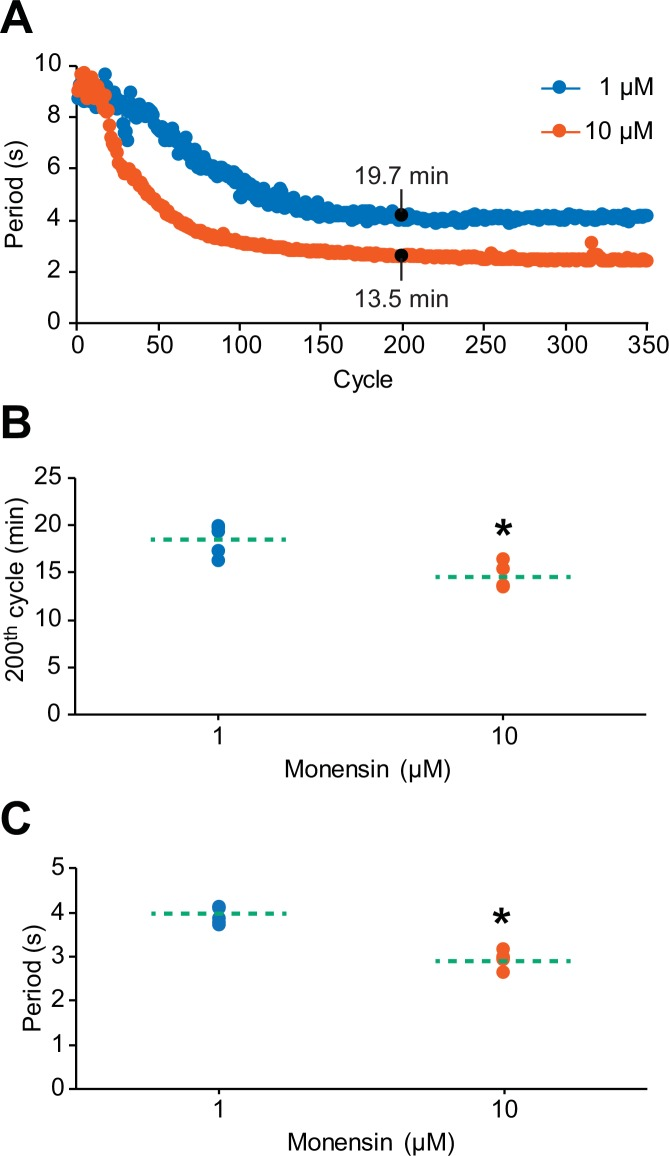 The cycle-to-cycle effects of monensin on the period of oscillator heart interneurons. ( A ) Initial application of monensin rapidly shortens the period towards a stable minimum value. The concentration of 10 µM monensin (vermilion line) shortens the period more rapidly than the lower concentration of 1 µM (blue line). The amount of time a period needs to reach its minimum value at the 200th cycle can be measured by summing up all the periods leading up to that 200th cycle. ( B ) A scatterplot of the amount of time that has passed before the period has reached its value at the 200th cycle in both 1 µM and 10 µM monensin treatments. ( C ) A scatterplot of the period at the 200th cycle in both 1 µM and 10 µM monensin treatments. The dashed green lines in the scatter plots represent means whereas the asterisk (*) represents significance from control (unpaired t-test, p=0.003). DOI: http://dx.doi.org/10.7554/eLife.19322.006