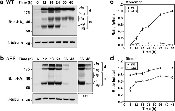 Biosynthetic maturation of NHE6 is reduced for the ∆ES mutant. AP-1 cells were transiently transfected with a NHE6v1 HA WT or b ΔES and lysed at the indicated time points over a 48 h period. Equal amounts of proteins were subjected to SDS-PAGE and immunoblotting with a monoclonal anti-HA antibody (α-HA). The identities of the various NHE6 bands are as described in the legend to Fig. 1 . For the ΔES immunoblot in panel B , a longer X-ray film exposure (18X) of the 36 h and 48 h time points is also shown. The same immunoblots were also probed with a monoclonal anti-β-tubulin antibody as a loading control. c-d Densitometric quantification of the relative abundances of the monomeric and dimeric forms of WT or ΔES was assessed using ImageJ software and expressed as ratios of fully glycosylated/total protein (fg/total). For quantification, multiple exposures of the immunoblots were taken to ensure the signal intensities of the bands were within the linear range of the X-ray film. Data are shown as mean ± standard error of the mean (S.E.M.) of four different experiments