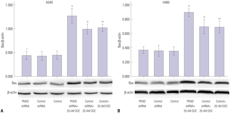 Bax protein expression induced by 0 nM and 20 nM <t>docetaxel</t> in PKM2-shRNA transfected, shRNA-control transfected or non-transfected cells at 48 hrs. 48 hrs after transfection, all A549 (A) and H460 (B) cells, PKM2 shRNA-transfected (PKM2 shRNA), control-shRNA transfected (Control shRNA) or non-transfected (Control), were incubated with 20 nM docetaxel for up to 48 hrs, Western blot analyses were performed to detect the expression of Bax. The graph depicts mean±SEM for three independent determinations of optical density of the Bax Western blot bands. * Compared to control cells with incubation of 0 nM docetaxel, p