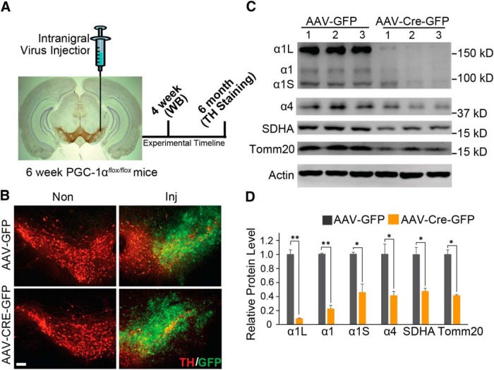 Adult conditional gene deletion of PGC-1α. A , Experimental schematic of stereotaxic intranigral virus injection and experimental time line. B , Representative GFP and TH-positive immunostaining of midbrain section from SNpc of PGC-1α flox/flox mice injected with AAV-GFP or AAV-Cre-GFP 6 months after the injection of virus. Scale Bar, 100 µm. C , Immunoblots of PGC-1α, SDHA, Tomm20, and β-actin 4 weeks after stereotactic delivery of AAV-GFP and AAV-Cre-GFP into PGC-1α flox/flox mice; n = 3/group. D , Quantification of C normalized to β-actin; n = 3/group. * p