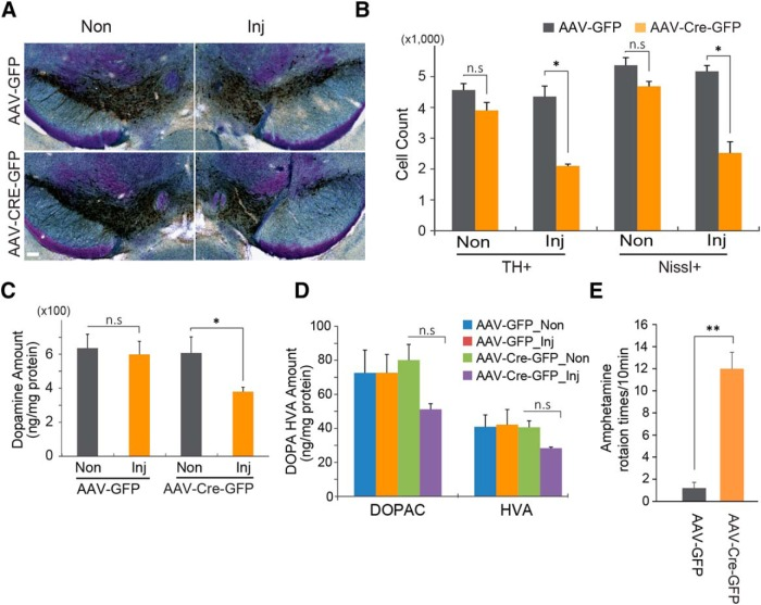 Gene deletion of PGC-1α leads to the loss of dopamine neurons in the SNpc. A , Representative TH immunohistochemistry and Nissl staining of midbrain sections from SNpc of PGC-1α flox/flox mice injected with AAV-GFP or AAV-Cre-GFP 6 months after the injection of virus. Scale bar, 100 µm. B , Stereological assessment of TH- and Nissl-positive neurons in the SNpc of PGC-1α flox/flox mice injected with AAV-GFP or AAV-Cre-GFP ( n = 3/group). C , HPLC assessment of the striatal content of dopamine. D , HPLC assessment of the striatal content of dopamine metabolites DOPAC and HVA. E , Amphetamine-induced ipsilateral rotations ( n = 3/group). Data are expressed as the mean ± SEM. * p