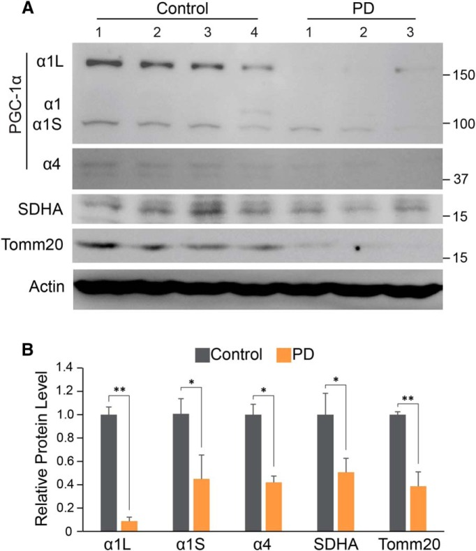 Reduction of PGC-1α isoforms, SDHA, and Tomm20 in PD. A , Immunoblots of PGC-1α, SDHA, Tomm20, and β-actin in SN of PD mouse compared with an age-matched control. B , Quantitation of the immunoblots in A normalized to β-actin: Control, n = 4; PD mouse, n = 3. * p