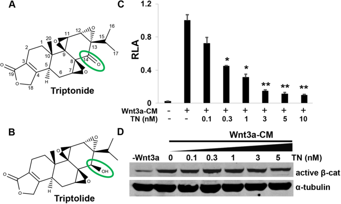 Triptonide effectively inhibits Wnt/β-catenin signaling through a mechanism different from triptolide. ( A ) Chemical structures of Triptonide and ( B ) troptolide are displayed. ( C ) Triptonide (TN in the figure) effectively inhibits Wnt/β-catenin signaling induced by Wnt3a conditional media (Wnt3a-CM) in STF293 cells that were stably transfected with TOPFLASH luciferase plasmid. The data was represented as mean relative luciferase activities (RLA) + SEM (n = 3). All the P values are compared to the luciferase activity induced by Wnt3a-CM (*P