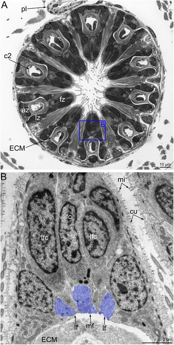 Organization of tentacles in Amathia gracilis . a Semithin transverse section of tentacle base. Zonality of the tentacle epithelium is evident. b Ultrathin transverse section of the frontal and latero-frontal zone of the tentacle base. Abbreviations: az - abfrontal zone; cc - coelomic cavity; cu - cuticle; ECM - extracellular matrix; fc - frontal cell; fz - frontal zone; lf - latero-frontal tentacle nerve; lfc - latero-frontal cell; lz - lateral zone; mi - microvilli; mf - medio-frontal tentacle nerve; pl - pylorus
