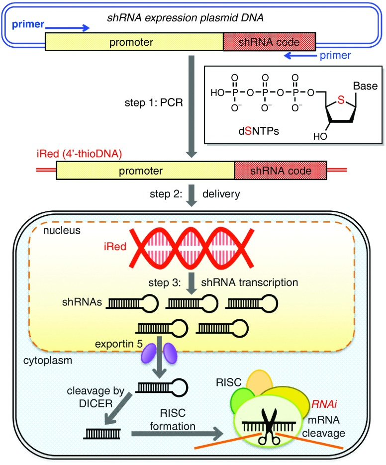 Schematic of gene silencing using an intelligent shRNA expression device (iRed) . Step1: A region of plasmid DNA (pDNA) encoding the U6 promoter and a short hairpin RNA (shRNA) was amplified using PCR in the presence of one type of 2'-deoxy-4'-thionucleoside triphosphate (dSNTP) and three other dNTPs to synthesize an iRed. Step 2: The iRed was delivered into the nucleus. Step 3: Numerous shRNAs were transcribed from the iRed to possess a potent RNA interference (RNAi) activity.