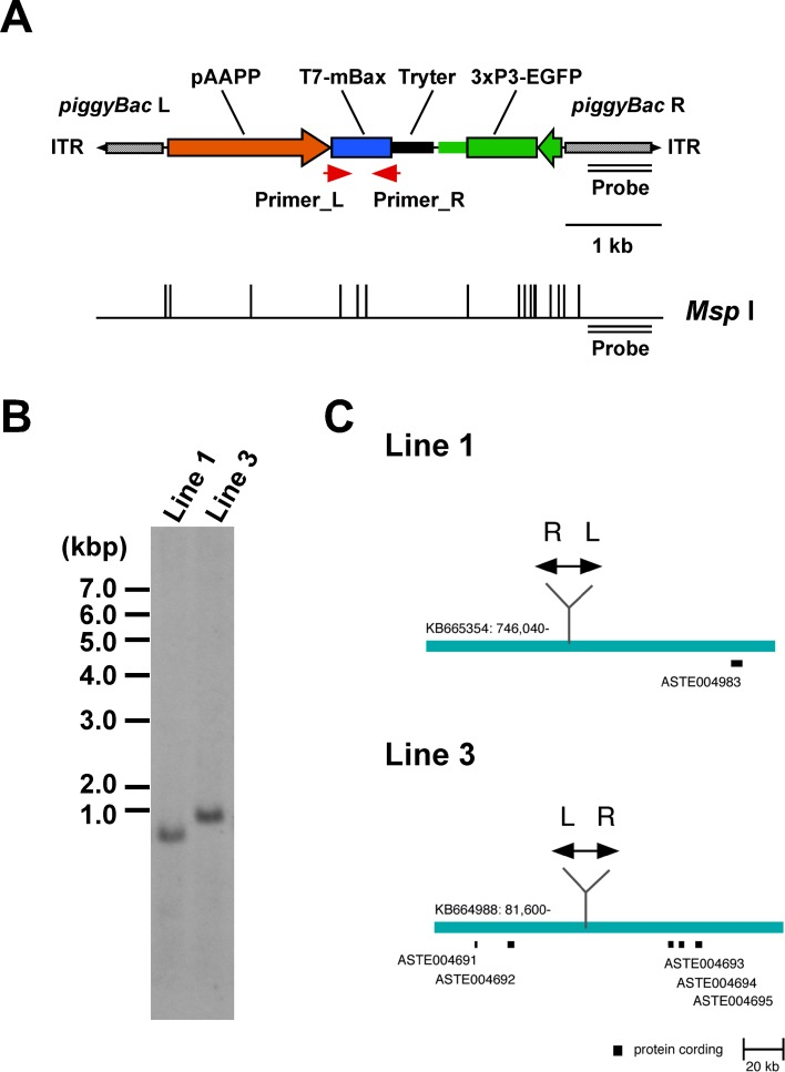 The gene structure of the piggyBac transformation vector, pBac[pAAPP-mBax; 3xP3-EGFP], TG mosquito lines, and insertion sites. (A) The gene construct derived from the piggyBac -based vector contains piggyBac Left-arm (L) and Right-arm (R) with an inverted terminal repeat (ITR). The T7-mBax gene is expressed under the control of the An . stephensi aapp promoter (pAAPP) and An . gambiae trypsin terminator (Tryter). The transformation marker, EGFP is expressed under the control of the 3xP3 promoter. A double line represents the probe region for a Southern blot analysis. The restriction enzyme ( Msp I) site is represented below the scheme. The red arrow represents the primer sites for a RT-PCR analysis in Fig 2 . (B) A Southern blot analysis of AAPP-mBax lines. Genomic DNA from AAPP-mBax mosquito lines (lines 1 and 3) was digested with Msp I, and hybridized with a fragment corresponding to the piggyBac R region. (C) Insertion sites of the transgene in AAPP-mBax lines 1 and 3. The blue bars show the local DNA region within each genomic scaffold. Black boxes represent the annotated protein-coding region in the VectorBase ( https://www.vectorbase.org/ ). Double-headed arrows show the piggyBac construct. L: piggyBac Left-arm, R: piggyBac Right-arm.