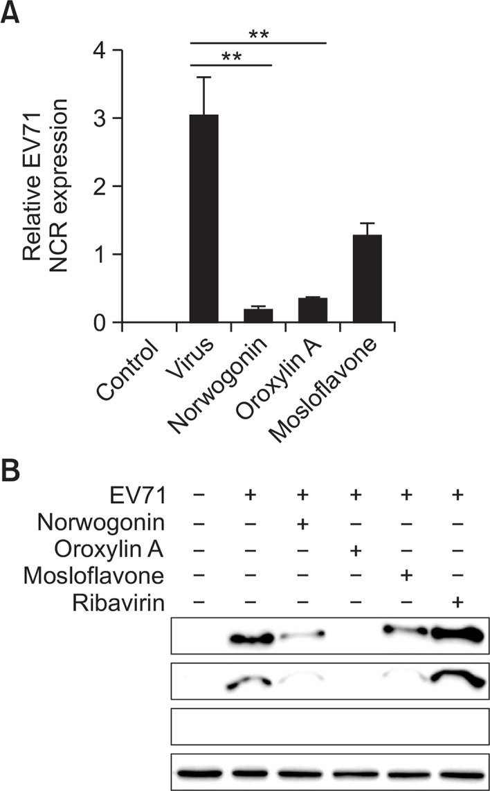 The effect of norwogonin, oroxylin and mosloflavone on EV71 replication. (A) Real-time PCR analyses were performed to determine the effect of norwogonin, oroxylin A and mosloflavone on EV71 NCR gene expression levels. Replication of EV71 from Vero cells at 48 h after infection by EV71 in the presence of 50 μg/mL norwogonin, oroxylin A and mosloflavone was determined by real-time PCR. Vehicle (0.1% DMSO)-treated cells without EV71 infection was used as control. (B) Western blot analyses were performed to determine the effect of norwogonin, oroxylin A, mosloflavone, and ribavirin on the production of EV71 VP2 proteins. The reduction in protein expression of EV71 VP2 was identified after treatment with 50 μg/mL norwogonin, oroxylin A, mosloflavone, and ribavirin for 48 h. α-tubulin was used as a loading control for each set of samples. ** p