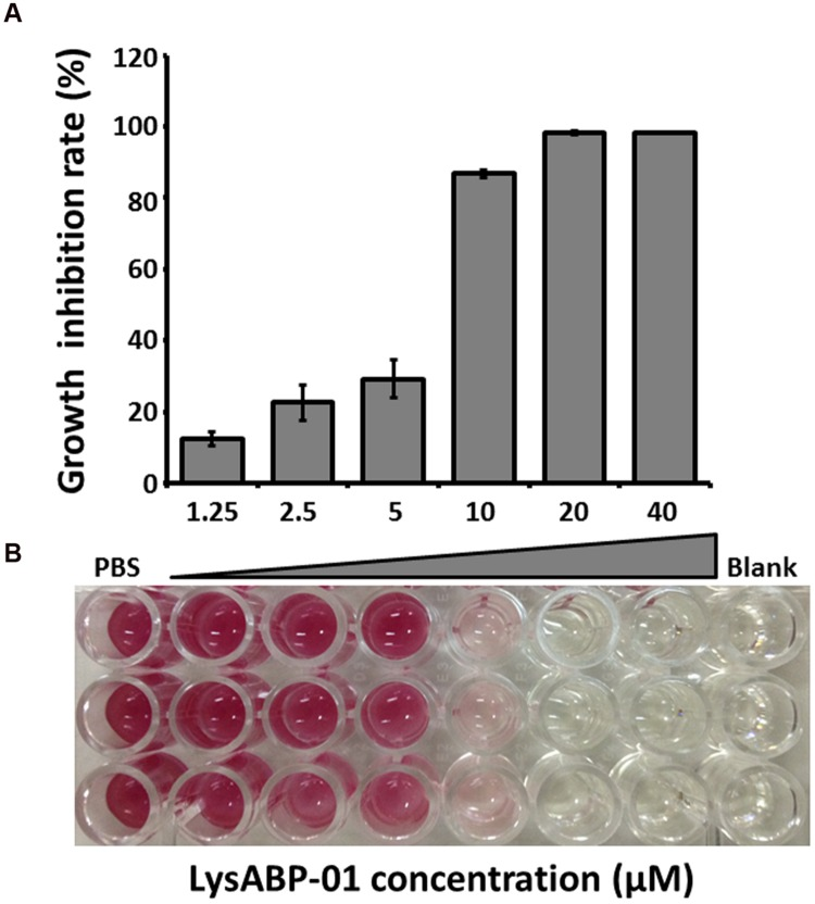 Antibacterial activity of LysABP-01. (A) Bacterial growth inhibition activity of varying concentrations of LysABP-01. The bar graph depicts the percent growth inhibition and represents the mean percentage ± SD of triplicate experiments. (B) The representative microplate image of TTC staining.