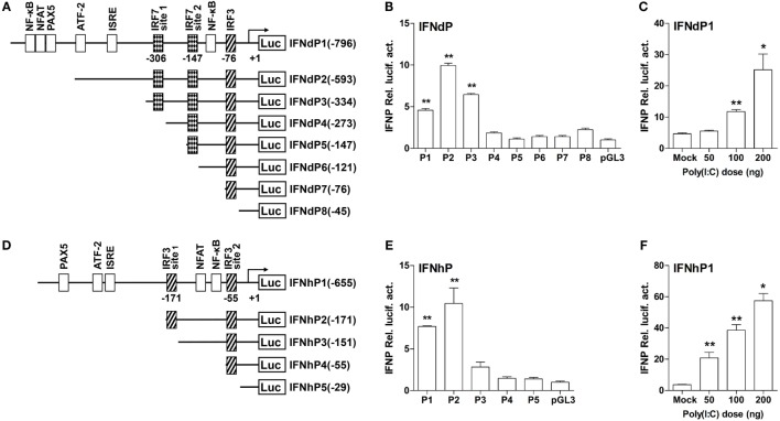 The structure and transcriptional activity of large yellow croaker IFN promoters . (A,D) Schematic representation of IFNd (A) and IFNh (D) promoters and a series of deletion constructs. (B,E) Transcriptional activity of IFN promoters. EPC cells (5 × 10 4 /well) were seeded in 96-well plates overnight and cotransfected with 100 ng of pGL3-IFNdP plasmid (B) or pGL3-IFNhP plasmid (E) and 2 ng of pRL-TK using the Fugene ® HD transfection reagent. Transcript levels were determined by real-time PCR. (C,F) Induction of large yellow croaker IFN promoter activity by poly(I:C). EPC cells (5 × 10 4 /well) were seeded in 96-well plates overnight and cotransfected with 50 ng of pGL3-IFNdP plasmid (C) or pGL3-IFNhP plasmid (F) , poly(I:C) (as indicated doses), and 1 ng of pRL-TK using the Fugene ® HD transfection reagent. After 48 h of transfection, the cells were harvested for detection of luciferase activity. All data were obtained from three independent experiments with three replicates in each experiment. Error bars represent ±SEM of three independent experiments. * p