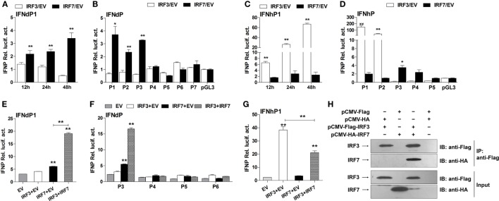Effects of IRF3 and IRF7 on induction of IFN promoter activity . (A) Full-length IFNd promoter (IFNdP1), (B) the IFNdP deletion constructs, (C) full-length IFNh promoter (IFNhP1), (D) the IFNhP deletion constructs. EPC cells (5 × 10 4 /well) were seeded in 96-well plates overnight and cotransfected with 50 ng of pGL3-IFNP plasmids, 50 ng of pCMV-HA-IRF3 or -IRF7, and 1 ng of pRL-TK. (E–G) Cooperative effect of IRF3 and IRF7 on IFN promoter. EPC cells were seeded in 96-well plates overnight and cotransfected with 50 ng of IFNdP1 (E) , the IFNdP deletion constructs (F) or IFNhP1 (G) , the indicated expression constructs (100 ng total at a ratio of 1:1), and 1 ng of pRL-TK. After 48 h of transfection, the cells were harvested for detection of luciferase activity. The empty vectors (EV) were used as controls. All data were obtained from three independent experiments with three replicates in each experiment. Error bars represent ±SEM. * p