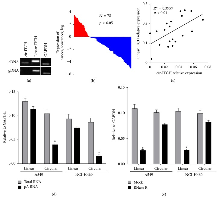 The expression level of cir-ITCH is closely related to lung cancer. (a) cir-ITCH was amplified by RT-PCR with divergent primers in <t>cDNA</t> but was not amplified in genomic DNA (gDNA). GAPDH, linear control. (b) qRT-PCR based on TaqMan probe was used to analyze the expression level of cir-ITCH in lung cancer tissues and paired noncancerous tissues. GAPDH was used as endogenous control. (c) The linear correlations between the cir-ITCH expression levels and linear ITCH were tested by Spearman analysis. The relative expression value was normalized by GAPDH expression level. (d) Random primers and oligo dT primers were used, respectively, in the reverse transcription experiments. The predicted circular <t>RNA</t> is absent in poly(A)-enriched samples. (e) The predicted circular RNA is resistant to RNase R treatment. Data are presented as mean ± SEM from three independent experiments. ∗ p