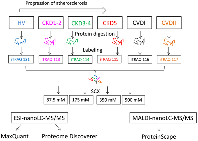 Workflow of the experimental strategy used in this study. Plasma samples from six experimental groups were trypsin digested, labeled with isobaric tags, pooled and then purified and fractionated using SCX method. Quantitative proteomic analyses were simultaneously performed using <t>ESI-nanoLC-MS/MS</t> and MALDI-nanoLC-MS/MS and then obtained data were analyzed with three types of software: MaxQuant, ProteinScape and Proteome Discoverer. Only proteins identified by all software were found to have a differential accumulation level.