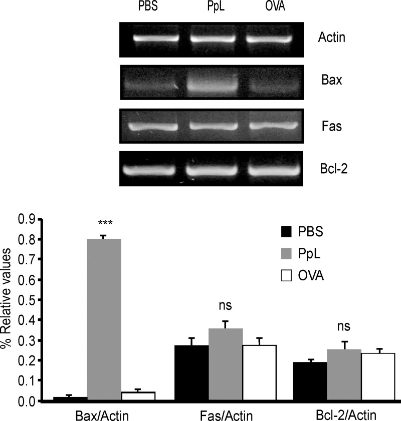 PpL induces increases in Bax but not in Bcl-2 or Fas mRNA. Daudi cells were treated with PpL (100 μg/ml), OVA (100 μg/ml) or PBS. RNA was extracted and cDNA was obtained by RT-PCR and analyzed by semi-quantitative PCR for Bax, Fas, Bcl-2 and actin. Image of a representative result is shown. The OD of the bands of Bax, Bcl-2 and Fas cDNA was quantified and normalized to actin. The relative levels are shown. Data are presented as the mean ± SEM of four independent experiments, (*** p