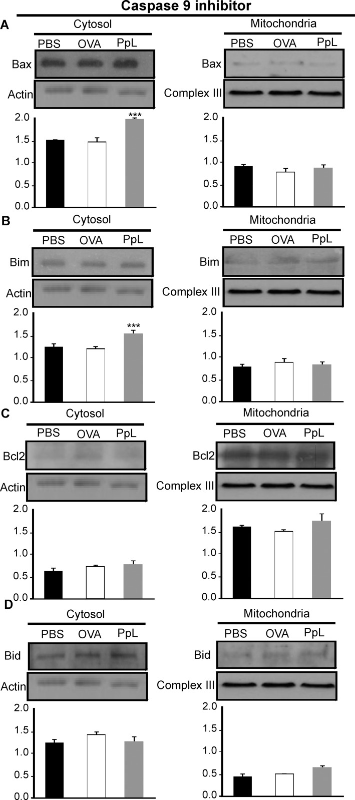 Effect of caspase-9 inhibitor on the PpL-induced translocation of Bax, Bim and Bcl-2 between the mitochondrial and cytosol compartments. Daudi cells pretreated with caspase-9 inhibitor were incubated with PpL (100 μg/ml), OVA (100 μg/ml) or PBS for 8 hs. Cell lysates containing cytosol and mitochondria fractions were prepared. Expression of Bax, Bim, Bcl-2 and Bid was analyzed by Western blotting. Membranes were sequentially blotted with anti-Bax (A) , anti-Bim (B), anti-Bcl-2 (C) , anti-Bid (D) , anti-actin or anti-III complex antibodies. Images of representative Western blots are shown. The optical density of Bax, Bim, Bcl-2 and Bid bands was quantified and normalized to actin or III complex. The relative levels are shown. Data are presented as the mean ± SEM of three independent experiments, (*** p