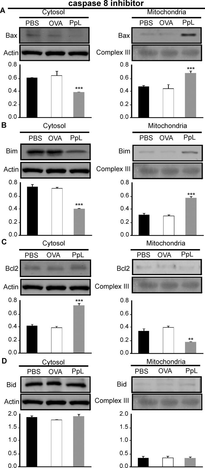 Effect of caspase-8 inhibitor on the PpL-induced translocation of Bax, Bim and Bcl-2 between the mitochondrial and cytosol compartments. Daudi cells pretreated with caspase-8 inhibitor were incubated with PpL (100 μg/ml), OVA (100 μg/ml) or PBS for 8 hs. Cell lysates containing cytosol and mitochondria fractions were prepared. Expression of Bax, Bim, Bcl-2 and Bid was analyzed by Western blotting. Membranes were sequentially blotted with anti-Bax (A) , anti-Bim (B) , anti-Bcl-2 (C) , anti-Bid (D) , anti-actin or anti III complex antibodies. Images of representative Western blots are shown. The optical density of Bax, Bim, Bcl-2 and Bid bands was quantified and normalized to actin or III complex. The relative levels are shown. Data are presented as the mean ± SEM of three independent experiments, (** p