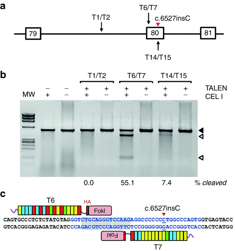 Design and activity of transcription activator-like nucleases (TALENs) targeted to exon 80 and intron 79. Three pairs of TALENs with targets across intron 79 and exon 80 ( a ) were expressed with adenoviral vectors in RDEB-E67A6 keratinocytes. A polymerase chain reaction (PCR) product spanning the TALEN target sites was generated with primers F1/R and analyzed with the Cel I (Surveyor) mutation detection assay, showing efficient indel generation activity for the T6/T7 pair, only weak activity for T14/T15 and no detectable activity for T1/T2. Solid arrowhead indicates uncleaved DNA, arrowheads indicate cleavage fragments. Percentage of cleavage for each PCR product is shown at the bottom. IX molecular weight marker (MW) ( b ). Schematic drawing showing the position of T6 and T7 TALENs on a genomic DNA sequence fragment containing COL7A1 exon 80 (blue) and the c.6527insC mutation site (red arrowhead). TALENs spacer sequence is shaded ( c ). RDEB, recessive dystrophic epidermolysis bullosa.