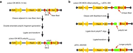 Generation of pEVL: a linear plasmid vector for generation of mRNA with extended encoded poly(A) tracts. ( a ) Schematic of pJazz and conversion to pEVL. The plasmids are shown with orange arrows denoting genes, red circles with T's denoting transcriptional terminators, open circles denoting terminal hairpin loops, yellow blocks denoting BsaI sites, and green blocks denoting the poly(A) tail. ( b ) Schematic of pEVL and method used for generation of extended poly(A) tracts in pEVL.