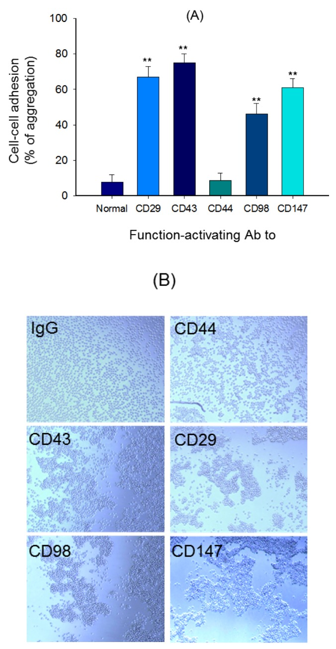 Cell-cell adhesion induced by ligation of surface adhesion molecules with aggregation-activating antibodies. (A) U937 cells were incubated with pro-aggregative (aggregation-activating) antibodies (1 µg/ml each as IgG1) to CD98 (AHN-18, 1 µg/ml), CD29 (MEM101A, 1 µg/ml), CD147 (M6-1D4, 10 µg/ml), and CD43 (161-46, 1 µg/ml) for 6 h. Aggregation of cells in the absence of stimuli (normal conditions) was less than 4%. Percentage of aggregation was quantitatively determined by cell-cell adhesion assays. (B) Images of the aggregated cells in culture were obtained using an inverted phase-contrast microscope attached to a video camera, and captured using NIH image software. Results (aggregation relative to control culture in the presence of stimuli) are expressed as mean±SEM from three independent experiments performed in triplicate. ** p