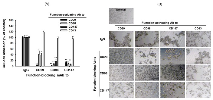 Effect of blocking antibodies on cell-cell adhesion induced by ligation of surface adhesion molecules with aggregation-activating antibodies. (A) U937 cells were incubated with pro-aggregative (aggregation-activating) antibodies (1 µg/ml each as IgG1) to CD98 (AHN-18, 1 µg/ml), CD29 (MEM101A, 1 µg/ml), CD147 (M6-1D4, 10 µg/ml), and CD43 (161-46, 1 µg/ml) in the presence of aggregation-blocking antibodies to CD29 (P5D2, 1 µg/ml), CD98 (MEM 108, 1 µg/ml), and CD147 (MEM M6/1, 1 µg/ml) for 6 h. Aggregation of cells in the absence of stimuli (normal conditions) was less than 4%. Percentage of aggregation was quantitatively determined by cell-cell adhesion assays. (B) Images of the aggregated cells in culture were obtained using an inverted phase-contrast microscope attached to a video camera, and captured using NIH image software. Results (aggregation relative to control culture in the presence of stimuli) are expressed as mean±SEM from three independent experiments performed in triplicate. * p