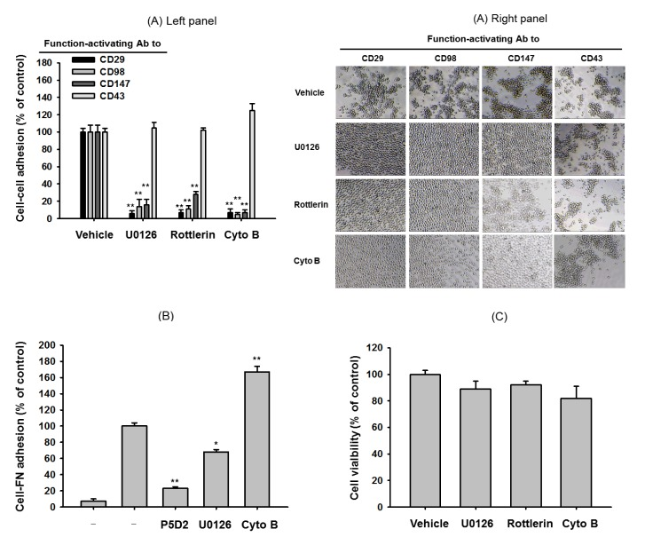Effect of pharmacological inhibitors of ERK, PKCδ, and actin polymerization on cell-cell aggregation or cell-fibronectin adhesion induced by ligation of surface adhesion molecules with aggregation-activating antibodies or immobilized fibronectin. (A left panel) U937 cells were incubated with pro-aggregative (activating) antibodies (1 µg/ml each as IgG1) to CD98 (AHN-18, 1 µg/ml), CD29 (MEM101A, 1 µg/ml), CD147 (M6-1D4, 10 µg/ml), and CD43 (161-46, 1 µg/ml) in the presence of chemical inhibitors to ERK (U0126, 25 µM), PKCδ (rottlerin, 10 µM), and actin polymerization (Cyto B: cytochalasin B, 10 µM) for 3 h. Aggregation of cells in the absence of stimuli (normal conditions) was less than 4%. Percentage of aggregation was quantitatively determined by cell-cell adhesion assays. (A right panel) Images of the aggregated cells in culture were obtained using an inverted phase-contrast microscope attached to a video camera, and captured using NIH image software. (B) U937 cells pretreated with 10 µg/ml of function blocking antibody to CD29 (P5D2) or inhibitors [U0126 (20 µM) and cytochalasin B (10 µM)] were seeded on fibronectin (50 µg/ml)-immobilized plates and further incubated for 3 h. Attached cells were determined by crystal violet assay, as described in Materials and Methods. (C) Cytotoxic activity of U0126, rottlerin, and CytoB was confirmed by a conventional MTT assay. Results (aggregation relative to control culture in the presence of stimuli or % of cytotoxicity) are expressed as mean±SEM from three independent experiments performed in triplicate. ** p