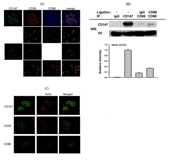 Molecular association between CD29, CD98, CD187, and the actin cytoskeleton in U937 cell-cell adhesion. (A and C) U937 cells were incubated with pro-aggregative (activating) antibodies (1 µg/ml each as IgG1) to CD98 (AHN-18, 1 µg/ml), CD29 (MEM101A, 1 µg/ml), <t>CD147</t> (M6-1D4, 10 µg/ml), and CD43 (161-46, 1 µg/ml) for 3 h. The localization patterns between CD29, CD98, CD147, and the actin cytoskeleton were evaluated by confocal microscopy. Results show one experiment out of three. (B) U937 cells (1×10 7 cells/ml) were treated with antibodies to CD147 (M6-1D4) and CD98 (AHN-18) for 6 h. After immunoprecipitation with antibodies to CD147 or CD98, the level of co-immunoprecipitated CD147 was determined by immunoblotting analysis with anti-CD147 antibodies. Results represent one experiment out of three. Relative intensities were calculated with the DNR Bioimaging system (Gelquant software Ver. 2.7).