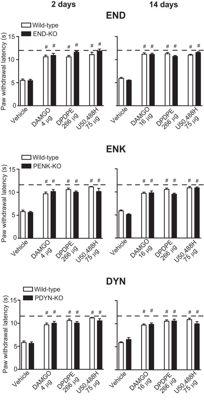 Effects of exogenous opioid receptor agonists on heat hypersensitivity in wild-type and opioid peptide-lacking mice. DAMGO, DPDPE and U50, 488H were injected at the CCI site on days 2 and 14 following CCI, and effects were assessed 5 min after injection using Hargreaves test, in hind paws ipsilateral to the CCI of wild-type, END-KO, PENK-KO or PDYN-KO mice. Dashed lines represent latencies determined before CCI. # P
