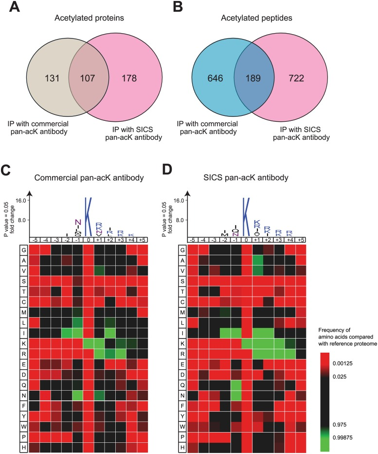 Identification of acetylated peptides by LC-MS/MS and their consensus sequence motif. Overlap of identified acetylated proteins (A) and peptides (B) from HEK293 cells using commercial pan-acK antibody or SICS pan-acK antibodies. (C and D) Peptide sequence motif and heat map of amino acids flanking the acetyl-lysine ( P