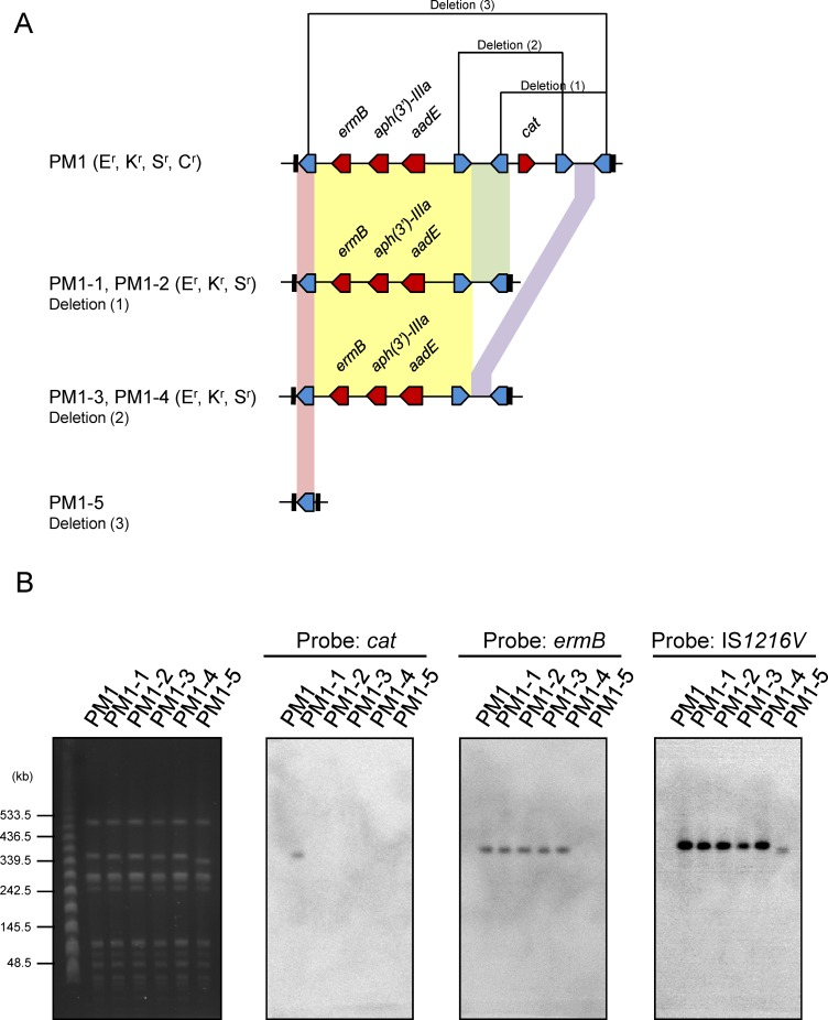 Selection for loss of antibiotic resistance in ST59/SCC mec V (5C2 5) MRSA strain PM1. (A) Cartoon representation of MES structures in PM1 and the generated colonies PM1-1 to PM1-5. (B) SmaI-digested PFGE of PM1 and PM1-1 to PM1-5 and the Southern blot. The SmaI-digested DNA separated by PFGE is shown in the left. The DNA was transferred to a nylon membrane and detected by Southern blot hybridization with DIG-labeled cat -, ermB - and IS 1216V -specific probes, which are shown on the right. Abbreviations: E r , erythromycin resistant; K r , kanamycin resistant; S r , streptomycin resistant; C r , chloramphenicol resistant.