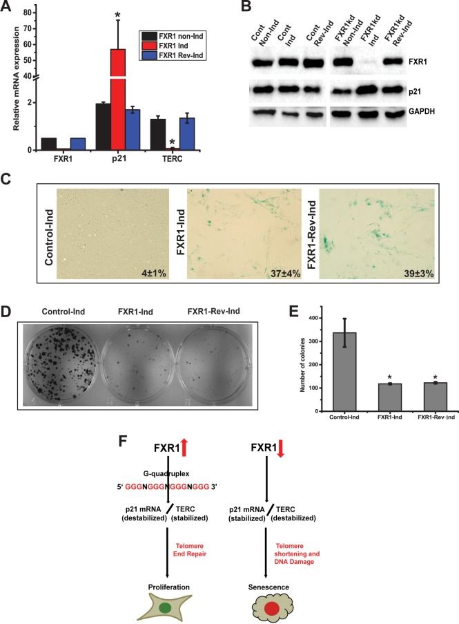 FXR1-regulated senescence is irreversible. (A) Relative quantity of FXR1 , p21 , and TERC are quantified by qRT-PCR under non-inducible, Inducible and reverse inducible FXR1 silencing conditions in UMSCC74B cells. (B) Immunoblot analysis of protein levels of UMSCC74B cells as described above. (C) The UMSCC74B cells are subjected to SA-β-gal staining as described in Fig 7A. (D) Representative culture dishes from clonogenic assays of cells transfected with indicated conditions. (E) The panel depicts the colony forming efficiency from clonogenic assays of UMSCC74B cells. The data are presented as the means ± S.D. from three independent experiments. (F) Model representation of evasion of cellular senescence through FXR1 by destabilizing p21 and stabilizing TERC in conjunction with activation of p53. (* p