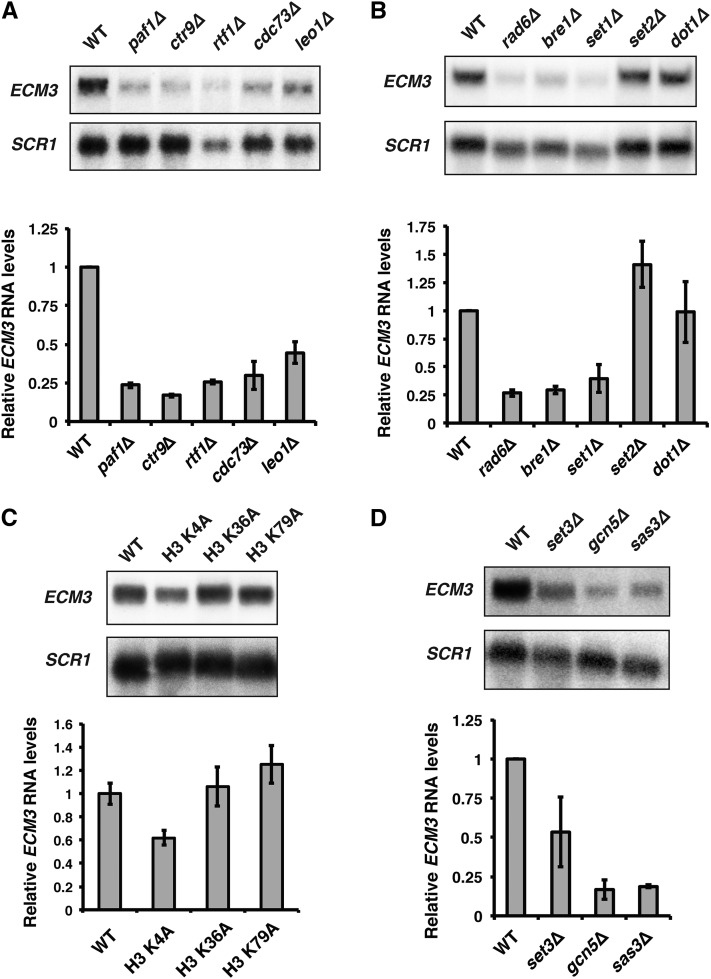 The Paf1 complex and methylation of H3 K4 positively regulate ECM3 expression. (A) Representative northern blot analysis of ECM3 transcript levels in a wild-type strain (FY4) or strains lacking one of the five subunits of the Paf1 complex, either paf1 ∆ (YJ807), ctr9 ∆ (KY2170), rtf1 ∆ (YJ788), cdc73 ∆ (KY2171), or leo1 ∆ (KY1805). (B) Representative northern blot analysis of ECM3 transcript levels in a wild-type strain (FY4) and strains where the genes encoding <t>histone</t> modifiers that work in concert with the Paf1 complex have been deleted ( rad6 ∆, KY1712; bre1 ∆, KY1713; set1 ∆, KY2720; set2 ∆, KY2723; and dot1 ∆, KY2725). (C) Representative northern blot analysis of ECM3 transcript levels in a wild-type control strain, lacking one copy of the genes for H3 and H4 (JDY86), and derivatives of JDY86 in which the only copy of the H3-H4 genes encodes the indicated amino acid substitution in H3. (D) Representative northern blot analysis of ECM3 transcript levels in strains lacking a subunit of the Set3 HDAC complex ( set3 ∆, KY2782), the SAGA HAT complex ( gcn5 ∆, KY1743), or the NuA3 HAT complex ( sas3 ∆, ECY394) compared to wild-type levels (YJ1125). Quantitation below shows the average ECM3 mRNA levels relative to WT (set to 1) from at least three biological replicates. Error bars represent the SEM. SCR1 serves as a loading control. mRNA, messenger RNA; WT, wild-type.