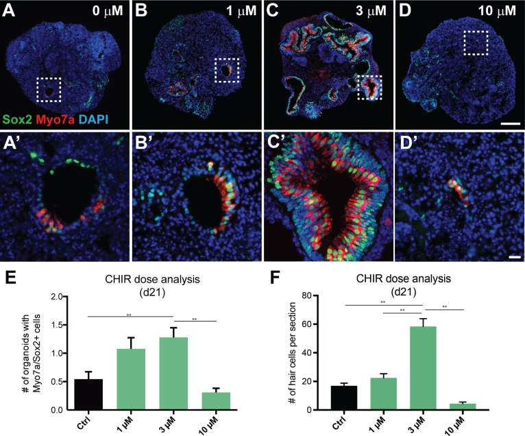 CHIR treatment has dose-dependent effects on the number of vesicles containing Myo7a + /Sox2 + cells. (A-D') Representative images show Myo7a/Sox2 expression in day 21 aggregate sensory epithelia that received 0 μM (A, A'), 1 μM (B, B'), 3 μM (C, C'), and 10 μM (D, D') CHIR between days 8 and 10. (E) The average number of vesicles containing Myo7a + /Sox2 + cells per aggregate as a function of the CHIR concentration (**P