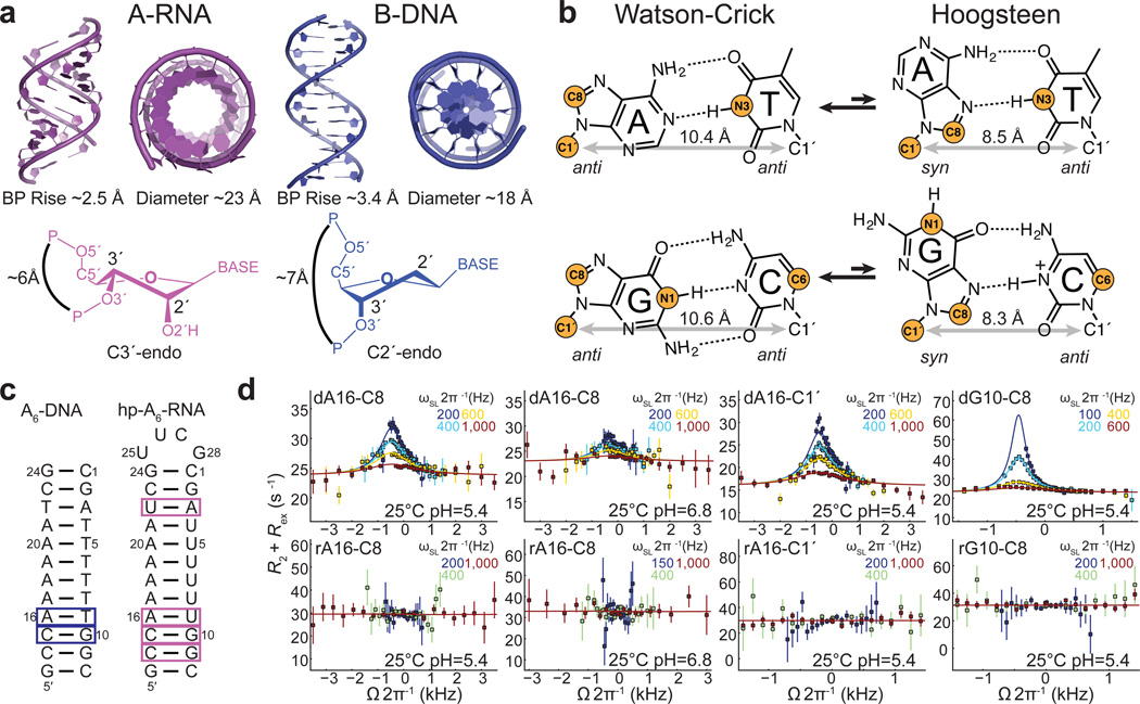 Absence of detectable WC⇄HG exchange in A-RNA by NMR relaxation dispersion. ( a ) Comparison of A-form RNA (violet) and B-form (blue) DNA double helices. ( b ) WC and HG bps in dynamic equilibrium in B-DNA. Sites used for RD measurements are highlighted in orange. ( c ) A 6 -DNA and hp-A 6 -RNA duplexes with bps targeted in RD measurements highlighted. ( d ) Off-resonance RD profiles showing R 2 + R ex as a function of spin lock offset (Ω 2π −1 Hz, where Ω = Ω obs – ω RF ) and power (ω SL 2π −1 Hz, in insets). Error bars represent experimental uncertainty (one s.d.) estimated from mono-exponential fitting using a Monte-Carlo based method (Methods). Solid line represents a fit to two-state exchange 6 .