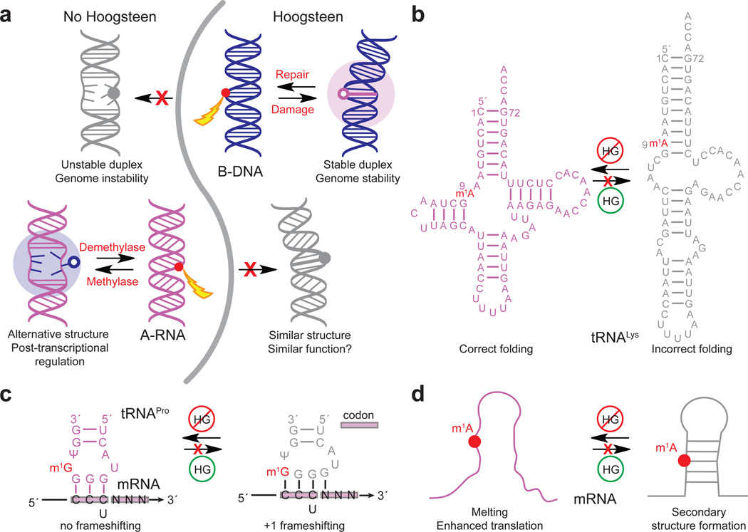 Different propensities to form HG bps in B-DNA and A-RNA enable contrasting roles at the genome and transcriptome level. ( a ) In DNA, m 1 dA or m 1 dG damage is absorbed as HG bps that can be recognized by repair enzymes (in red). Had B-DNA lacked the ability to form HG bps, damage could result in duplex melting and genomic instability. In RNA, post-transcriptional modifications resulting in m 1 rA and m 1 rG block both WC and HG pairing, melting or modulating RNA secondary structure to favor functional states or effect epigenetic regulation. Had A-RNA had the ability to form HG, the m 1 rA and m 1 rG would form HG bps and potentially fail to more significantly alter RNA structure and function. ( b ) Highly conserved m 1 rA9 in human mitochondrial tRNA Lys blocks rA–rU WC base pairing and stabilizes native tRNA structure in which m 1 rA9 is in a single strand 58 . The m 1 rA9 modification would not stabilize native tRNA structure if it were simply absorbed as a HG bp. ( c ) Highly conserved m 1 rG37 next to the anti-codon loop 37 blocks base pairing between m 1 rG37 and the first rC in the codon and prevents +1 frameshifting in tRNA Pro , which could occur if m 1 rG37 formed stable HG bp with rC. ( d ) Proposed mechanism for m 1 rA enhanced translation through destabilization of secondary structure in the 5′ UTR of mRNA.