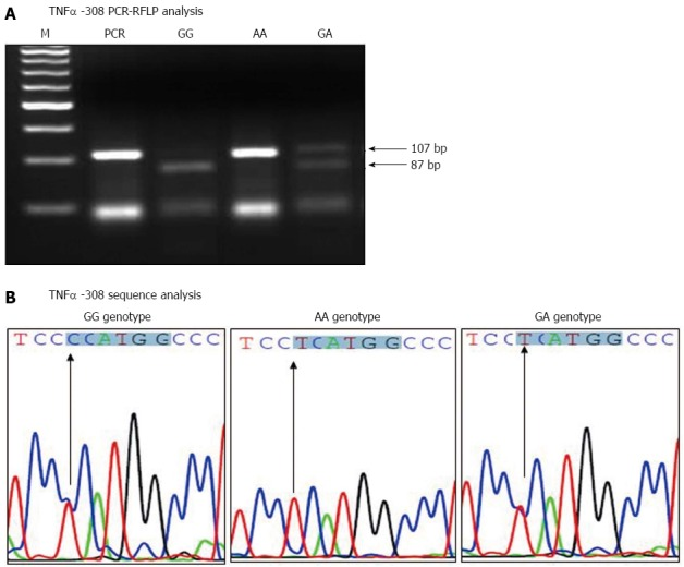 Tumor necrosis factor α -G308A polymorphism analysis. A: TNFα -308 <t>PCR-RFLP</t> analysis, genomic <t>DNA</t> was extracted, amplified by PCR, digested with Nco I restriction enzyme and run on a 4% agarose gel. Lanes 1, 2, 3 and 4 correspond to PCR products before digestion, GG homozygote (87 bp), AA homozygote (107 bp) and GA heterozygote (107 and 87 bp) respectively. B: TNFα -308 PCR sequence analysis, the PCR products of different TNFα -308 genotypes were purified and sequenced using the reverse primer. The Nco I restriction site is highlighted and the arrow points to the single nucleotide polymorphism. TNFα: Tumor necrosis factor alpha; HCV: Hepatitis C virus; RFLP: Restriction fragment length polymorphism.