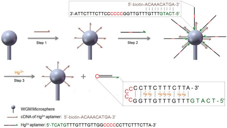 Schematic illustration of the strategy for Hg 2+ ion detection using a DNA aptamer, a strand displacement reaction, and a label-free WGM sensor. Steps for performing the sensing experiments are: Step 1—attachment of cDNA via streptavidin to surface-adsorbed biotinylated dextran layer; for details of this functionalization procedure see Figure 3 a. Wash with buffer. Step 2—hybridization of aptamer, also see Figure 3 b for details. Wash with buffer. Step 3—detection of Hg 2+ by strand displacement reaction.