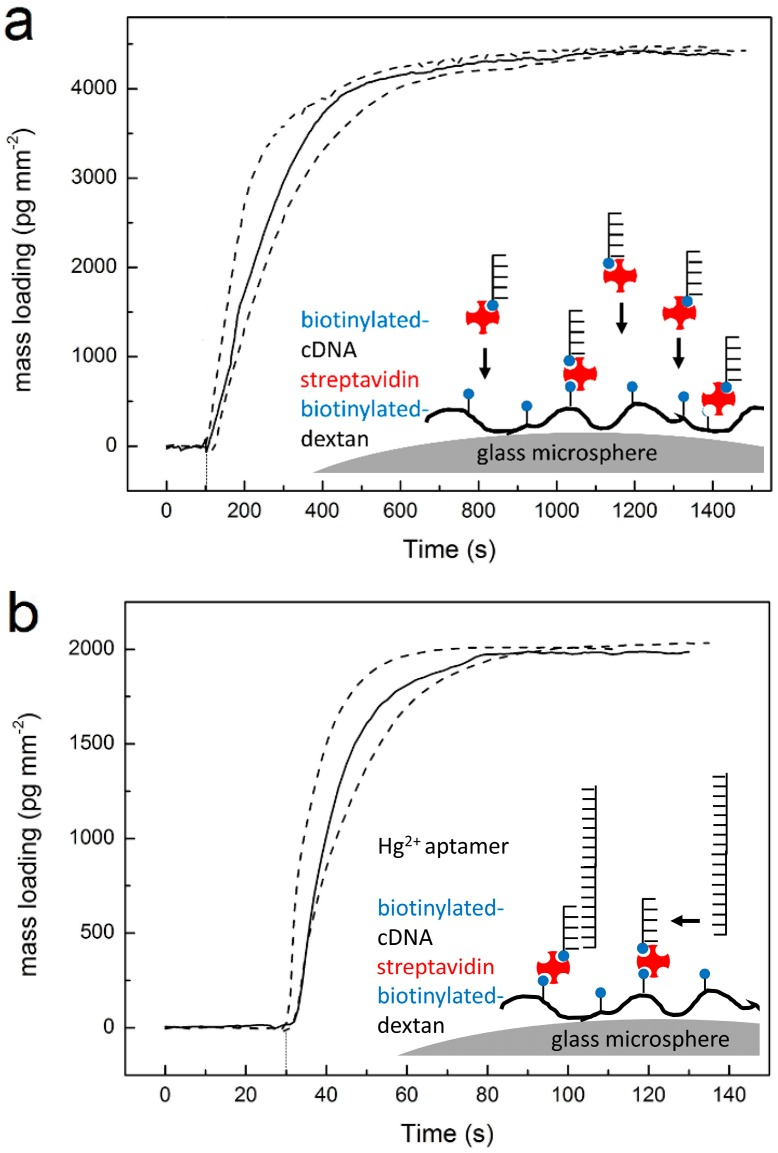 Functionalizing the microsphere for DNA strand displacement reaction. ( a ) WGM mass-loading curve recorded for streptavidin-cDNA complex binding to previously biotin-dextran–modified microsphere; ( b ) WGM mass-loading curve recorded for subsequent hybridization of Hg 2+ aptamer with cDNA at the microsphere surface. The three curves correspond to three independent experiments performed with different microspheres.