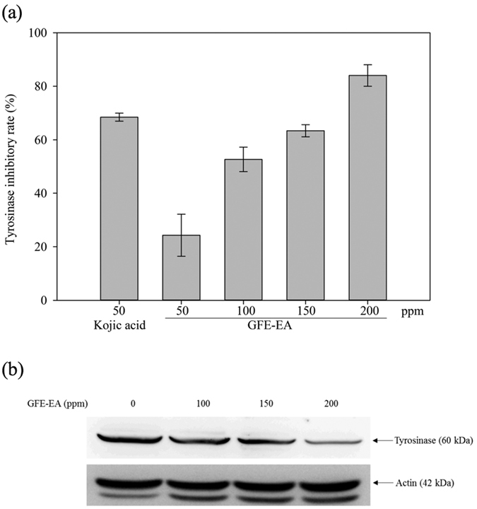 GFE-EA inhibits tyrosinase activity and attenuates the protein level of tyrosinase in B16-F10 melanoma cells. ( a ) For assays of tyrosinase activity, 50 μg of total protein from B16-F10 melanoma cells was incubated with 2 mM L -DOPA, and the level of dopachrome was determined by a photometric method as described in Material and Methods and expressed as percentage of control. ( b ) Whole cell lysates, treated with 100–200 ppm of GFE-EA for 48 hours, were analyzed by western blotting with antibody against tyrosinase. Equal protein loading was confirmed by antibody against β-actin (full-length gels and blots are presented in Supplementary Figure S2 ).