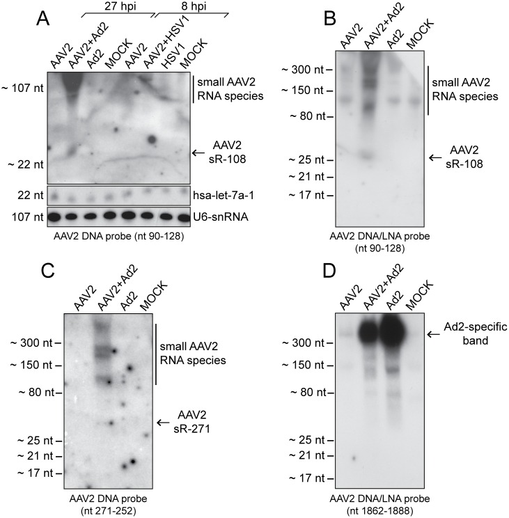 Detection of AAV2-specific small RNAs by Northern blot analysis. (A) Northern blot analysis of DNase treated total RNA extracts from HeLa cells, either none infected (Mock), or infected with AAV2, AAV2 and Ad2, AAV2 and HSV1, Ad2, or HSV1, harvested at the indicated time points. Total RNA extracts separated on 15% PAA-Urea gels, transferred to a positively charged membrane were hybridized with radiolabeled <t>DNA</t> probes directed against the depicted AAV2 small RNA sR-108, the human miRNA hsa-let-7a, or the cellular U6-snRNA, respectively. To the right detected small RNAs are indicated. (B) Experimental procedure as in (A) but RNAs were detected by a radiolabeled <t>DNA/LNA</t> probe directed against the AAV2 small RNA sR-108. (C) Experimental procedure as in (A) but RNAs were detected by a radiolabeled DNA probe directed against the AAV2 small RNA sR-271. (D) Experimental procedure as in (A) but RNAs were detected by a radiolabeled DNA/LNA probe targeting the AAV2 small RNA sR-1862. To the left, the molecular sizes of the bands of the miRNA ladder and the ssRNA ladder, respectively, are depicted.