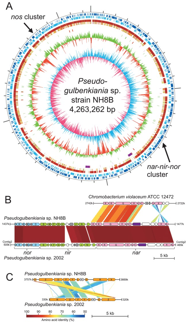 Comparison of genomes of Pseudogulbenkiania sp. strain NH8B, strain 2002, and Chromobacterium violaceum ATCC 12472. (A) Circular representation of the Pseudogulbenkiania sp. NH8B genome. From the outside in: circles 1 and 2 of the chromosome show the positions of protein-coding sequences on the positive and negative strands, respectively. Circles 3 and 4 show the positions of protein-coding sequences that have orthologs in Pseudogulbenkiania sp. 2002 and Chromobacterium violaceum ATCC 12472, respectively. Circle 5 shows the positions of the prophages (purple) and integrative elements (pink). Circle 6 shows the positions of tRNA genes (green) and rRNA genes (red). Circle 7 shows a plot of the G + C content (higher values outward). Circle 8 shows a plot of the GC skew ([G − C]/[G + C]; light blue indicates values > 0; red indicates values