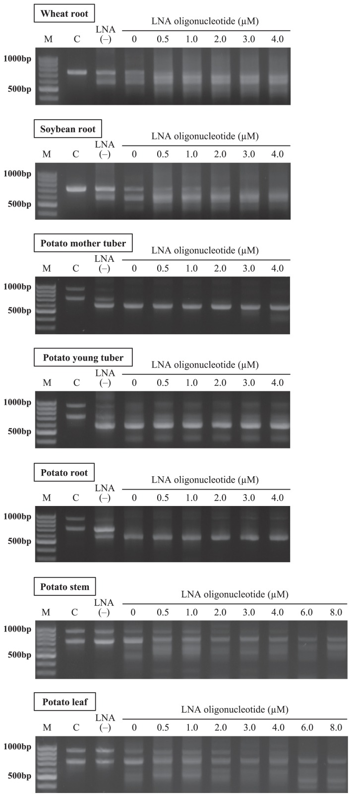 """Estimation of effective concentrations for LNA oligonucleotides. LNA oligonucleotides were used in the ranges of 0 μM, 0.5 μM, 1.0 μM, 2.0 μM, 3.0 μM, and 4.0 μM. Higher concentrations of 6.0 μM and 8.0 μM were also examined for potato leaf and stem samples. """"M"""" is the marker for 100-bp ladders, and """"C"""" is aseptic amplicons to provide the position of host plant DNA in the agarose gel. """"LNA(−)"""" represents amplicons prepared with the ITS1F DNA primer and ITS4 primer."""