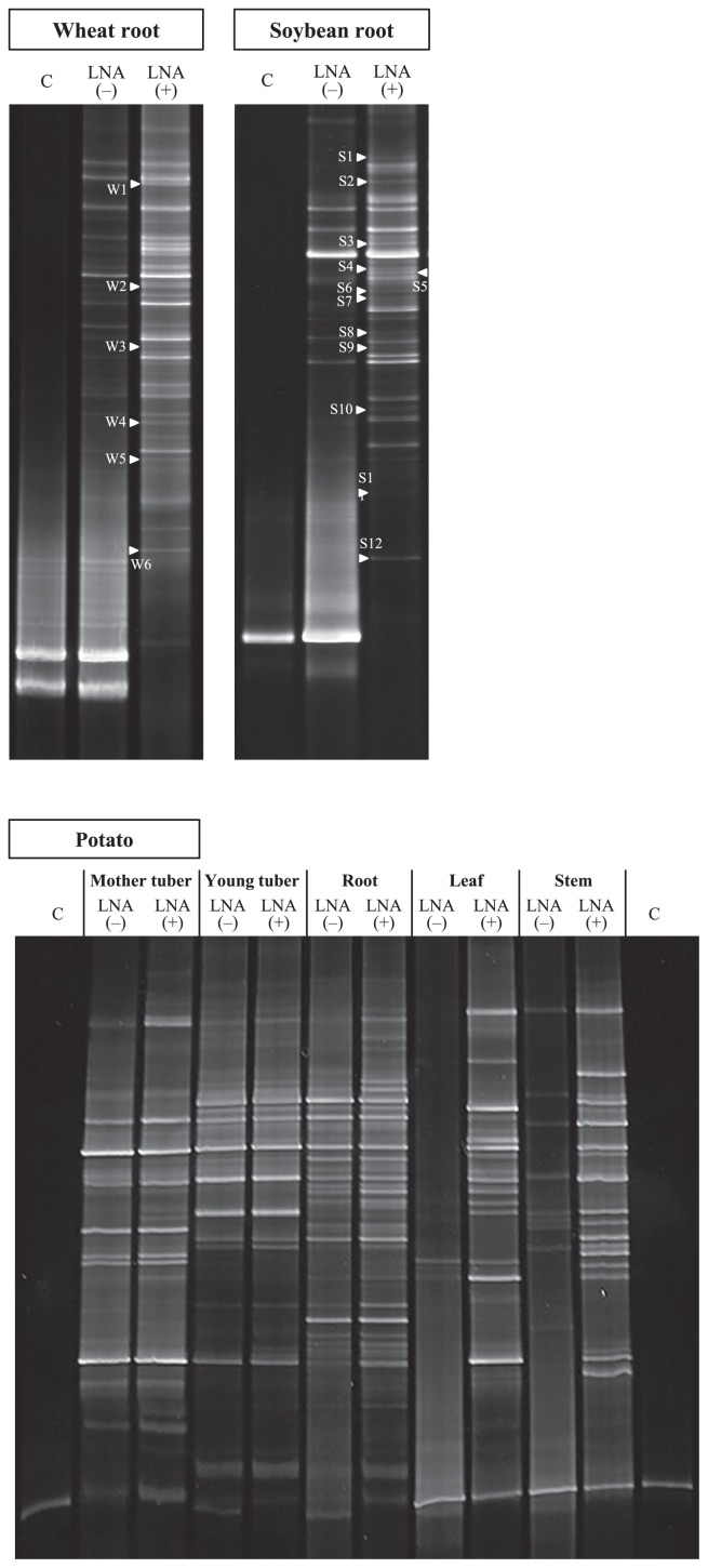"""DGGE patterns of nested PCR products derived from respective parts of wheat, soybean, and potato samples. The products were prepared with the ITS1F KU DNA primer with the GC clamp and ITS2 primer. The symbols """"−"""" and """"+"""" indicate the lanes prepared without and with the LNA technique. The products that sufficiently amplified the fungal ITS regions are used in lane """"+"""". """"C"""" represents aseptic amplicons to provide the position of the host plant band in the DGGE gel. The sequences of DGGE bands indicated with arrows were obtained in order to identify the closest relatives using the DNA database."""